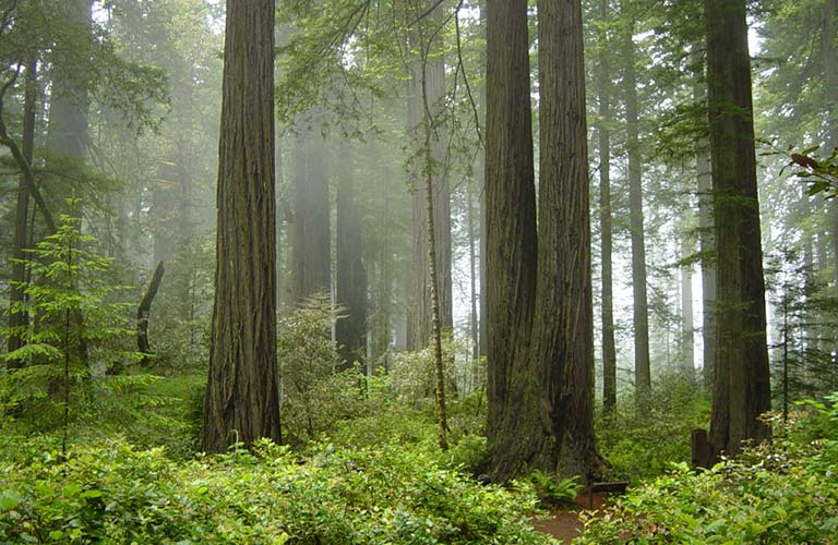 Managing Coast Redwoods for Resilience in a Changing Climate